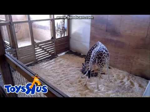 April Has Her Baby - Animal Adventure Park Harpursville, NY - 4/15/17