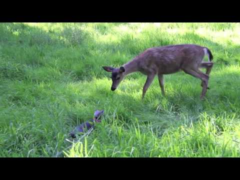 Lulu the Cat meets a deer