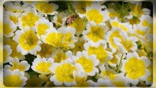видео Немофила - выращивание из семян, фото цветка