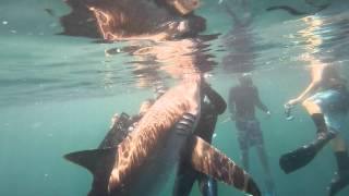 Shark Diving in Florida with the Shark Addicts - Dusky, Scalloped Hammerhead, and Silky