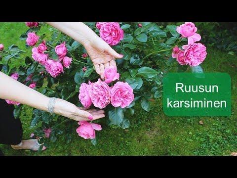 Ruusun karsiminen // Muhevaisen Minuutti