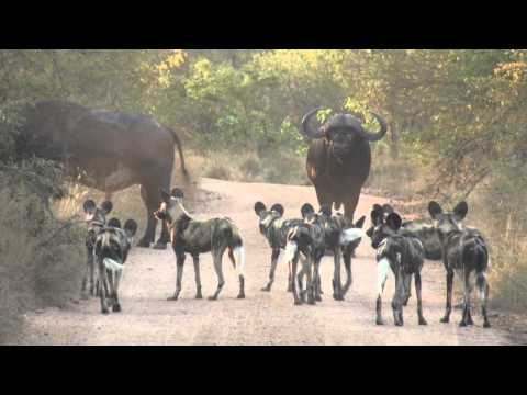 Wild dogs - Life Story: Episode 3 preview - BBC One | Doovi