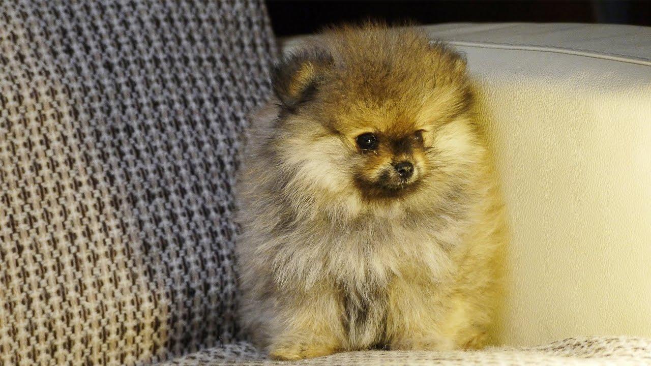 В клубе сморлики всегда большой выбор щенков, здесь вы можете купить щенка мини шпица в москве как для выставок так и просто домашнего любимца!. Цена щенка шпица у нас разнообразна от недорогих до элитных продажа собачек с документами.