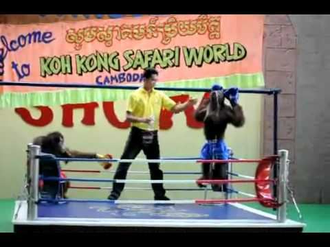 Khỉ đánh Boxing cực độc