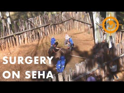 Saving the Survivors - Rhino Surgery on Seha