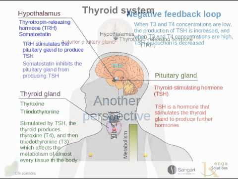 The Hypothalamus The Pituitary Gland And The Thyroid Youtube