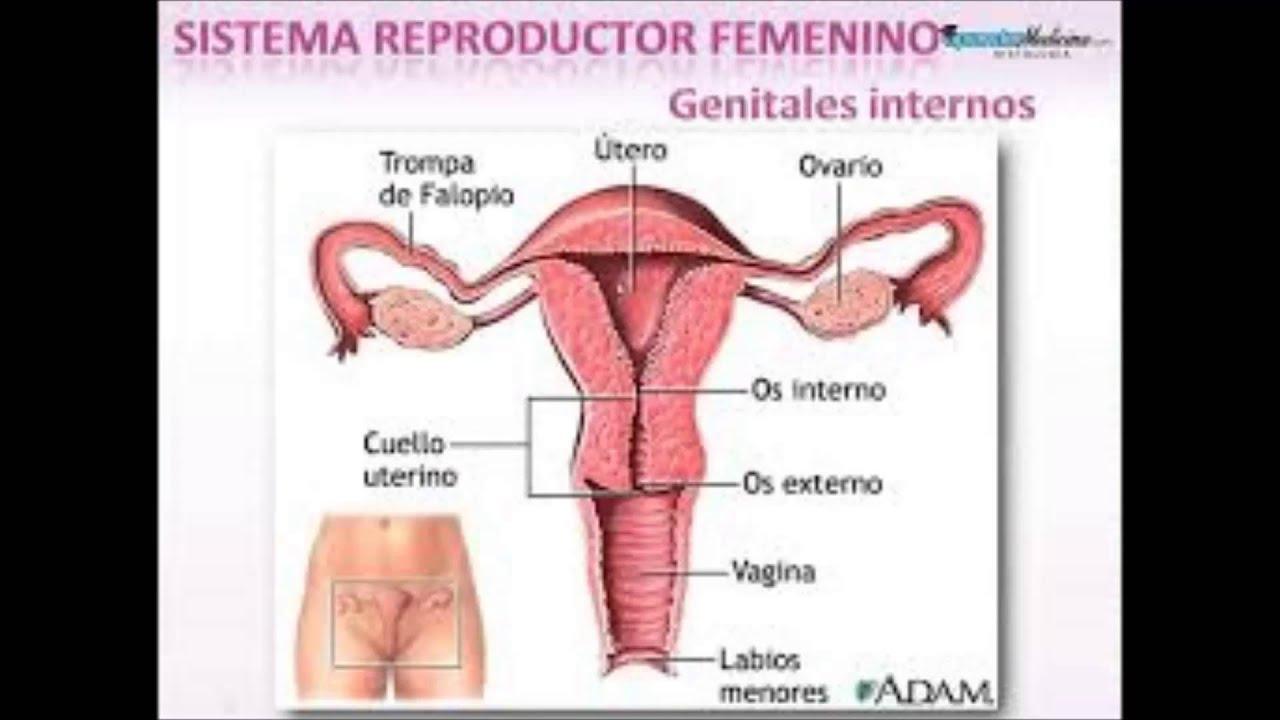 sistema reproductor femenino y masculino - YouTube