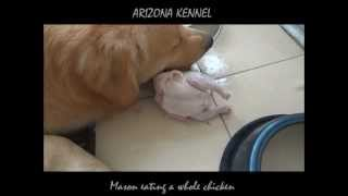 "Golden Retriever ""mason"" - Raw Feeding - 1 Whole Chicken"