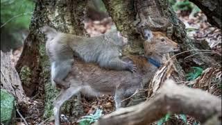 Дикие обезьяны стали массово насиловать японских оленей