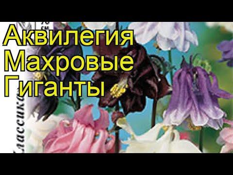 Аквилегия обыкновенная Махровые Гиганты. Краткий обзор, описание характеристик aquilegia hybrida
