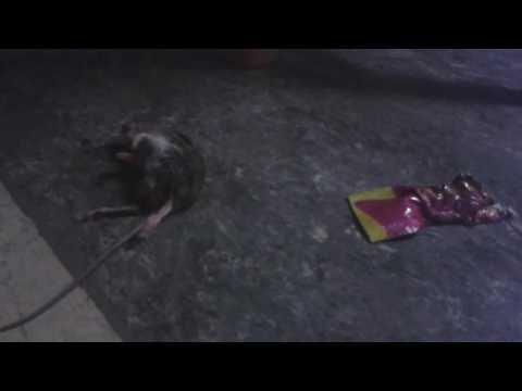 Cat eats mouse alive