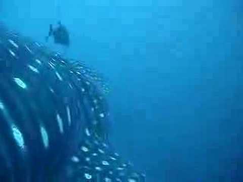 Anatomy Of A Whaleshark Encounter Youtube