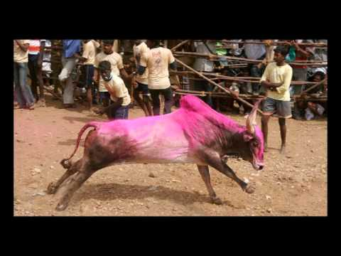 Jallikattu in Palamedu Travel Video
