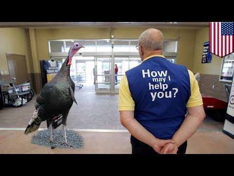 Thumbnail: Turkey runs wild in Walmart: Elderly greeter fired after turkey enters the store - TomoNews