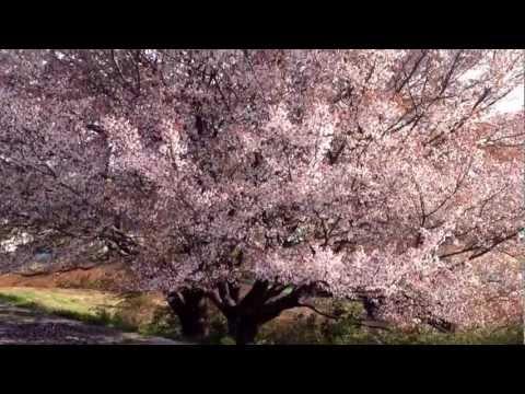 Apr 1, 2013 桜ハラハラ