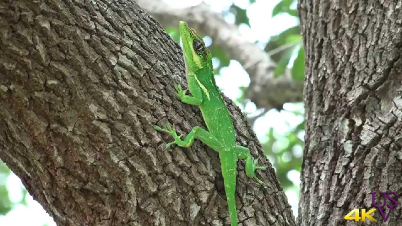 Fdr Ax100 Sony Uhd 4k Naples Florida A Green Lizard In