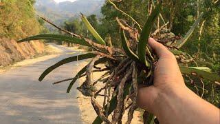 Lên Rừng Hái Phong Lan Cực Nhiều || TVN Lai Châu