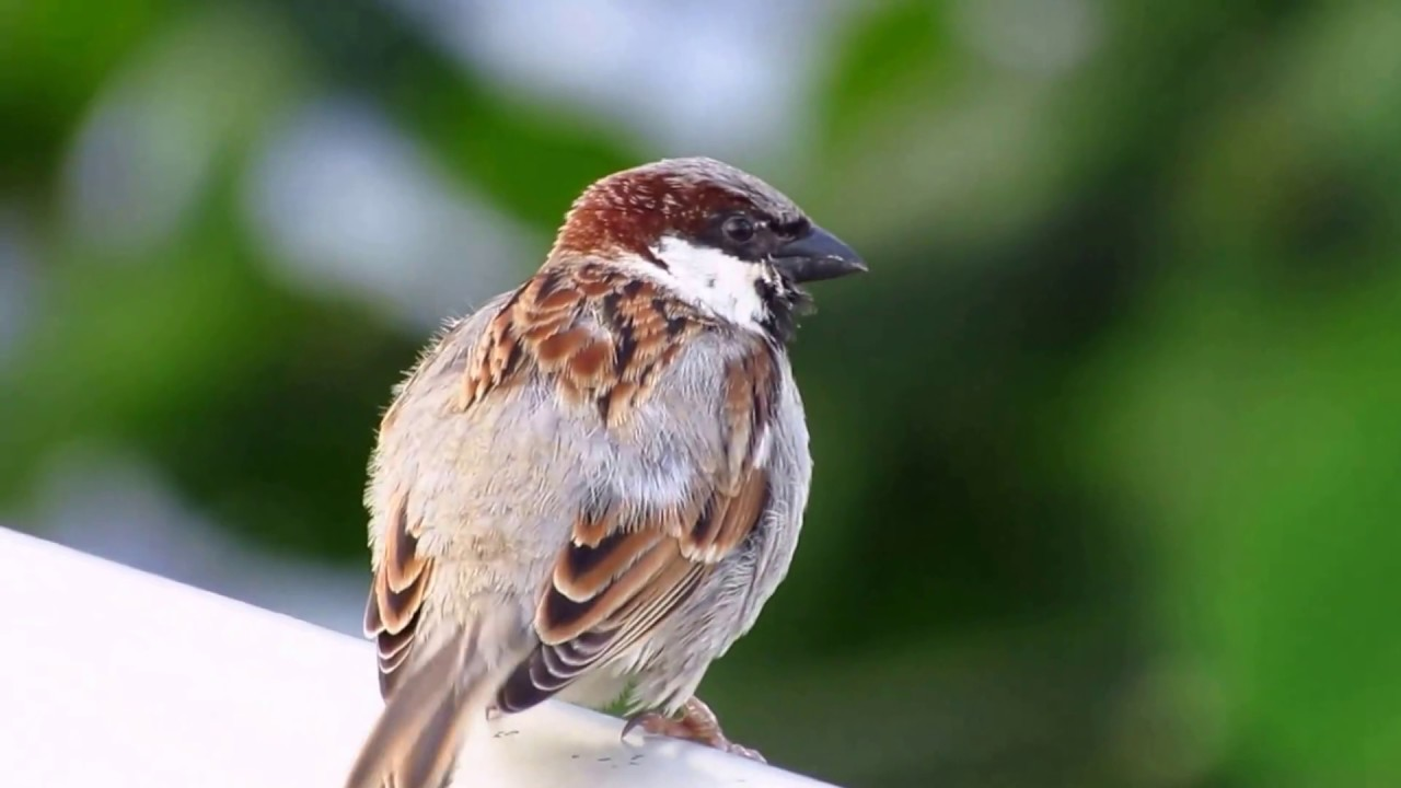 Birds of Mauritius Sparrow Moineau YouTube