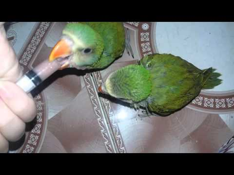 Vẹt Ngực Hồng ăn bột cực ngoan