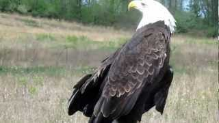 Liberty the Bald Eagle scolds wild Bald Eage flying over head Savannah NY.