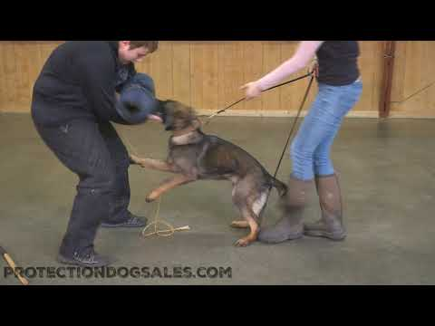 """Sable German Shepherd Puppy """"Xane"""" 6 Mo's Early Protection Training Dog For Sale"""