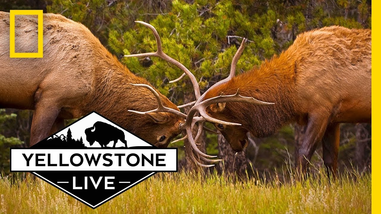 Elk Conservation in Yellowstone, LIVE! | Yellowstone Live