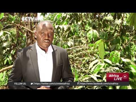 Strong US Dollar saves Uganda coffee farmers