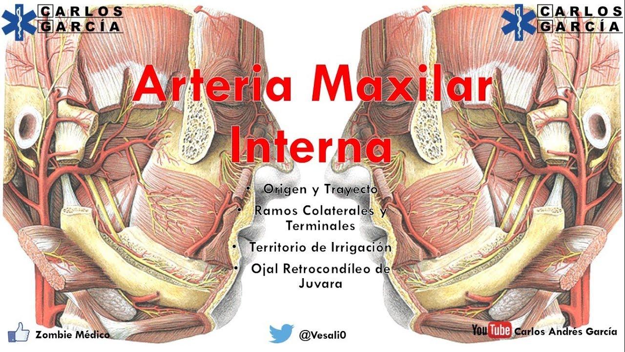 Contemporáneo Anatomía De Una Arteria Imágenes - Imágenes de ...