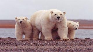 Суперхищники: Полярный белый медведь
