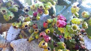 Opuntia ficus indica Yellow Flower - prickly pear - Indian fig opuntia HD 02