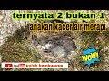 Anakan Kacer Air Umur Seminggu Di Alam Liar Lereng Merapi  Mp3 - Mp4 Download
