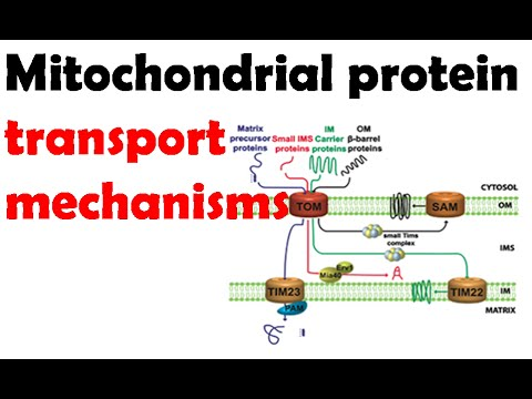 Mitochondrial protein transport mechanisms