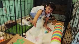 Coton Puppies For Sale - Vivian 8/11/20