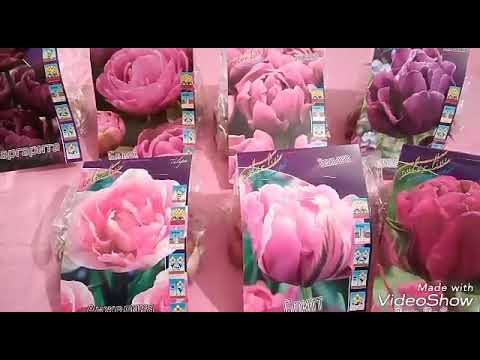 Посылка с тюльпанами Сажаю под снег Какие и куда