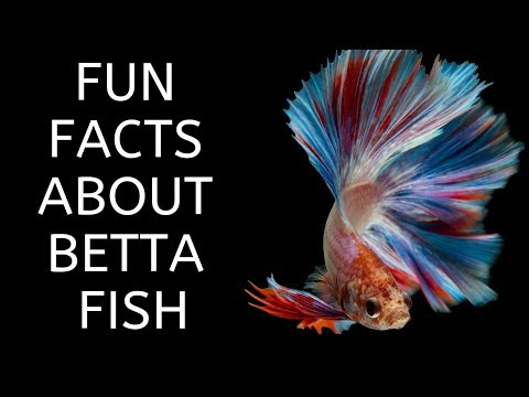 Fun Facts About The Betta Fish