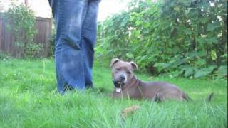 Sadie The Staffy - Basic Training And Tricks - Staffordshire Bull Terrier