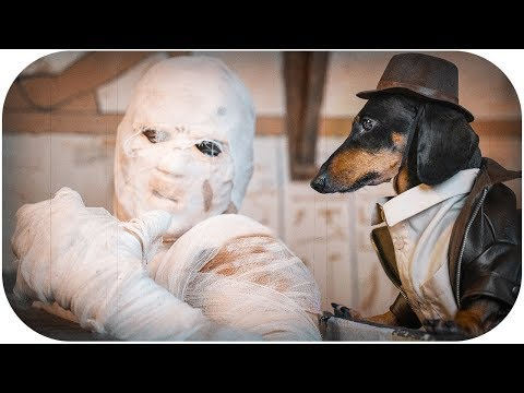 Indiana Bones and the Last Mummy! Funny dachshund dog video!