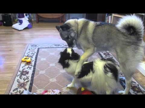 Elkhound and Japanese chin Best friends