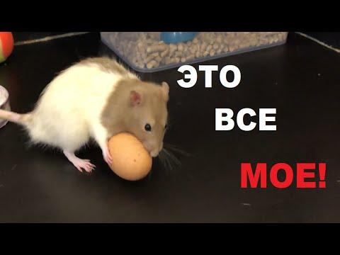 Вопрос: Как крыски научились воровать яйца?