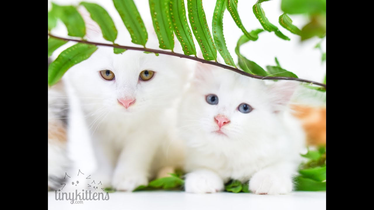 maine coon cat short hair