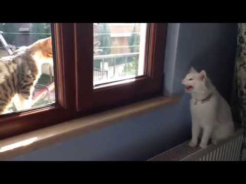 Angry Turkish van cat hissing and growling