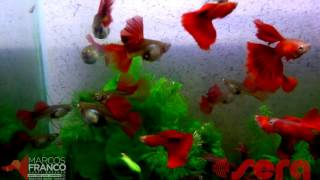 FULL RED BIG DORSAL by MARCOS FRANCO GUPPY
