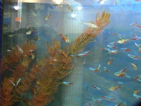 породы аквариумных рыб: неоны и тетра фон рио . Все О Домашних Животных.