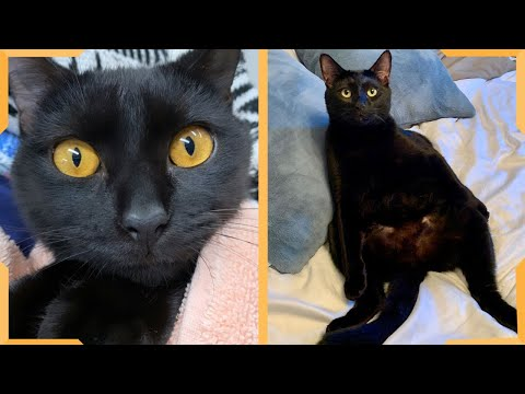 Bombay Cat  Funny Cats Video | Compilation Video 2020