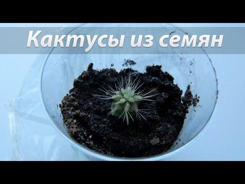 Выращивание кактусов из семян