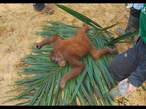 Sumatran orangutans were rescued