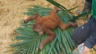 Sumatran orangutans were rescued