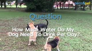 #AskPerro Ep 26 | How Much Water Do My Dog Need To Drink Per Day?