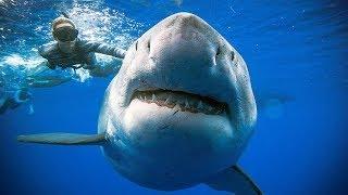 """""""أكبر"""" سمكة قرش بيضاء في العالم  تظهر في هاواي"""