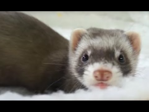 FERRETS - Do you want to have a ferret as a pet? Do not miss these tips!